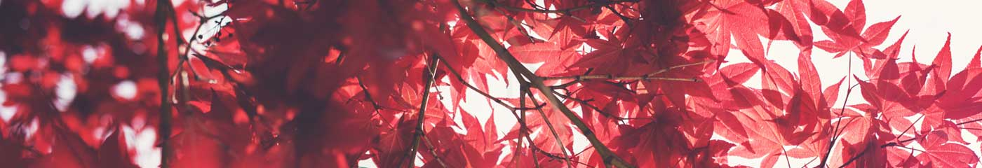 close up of red tree leaves