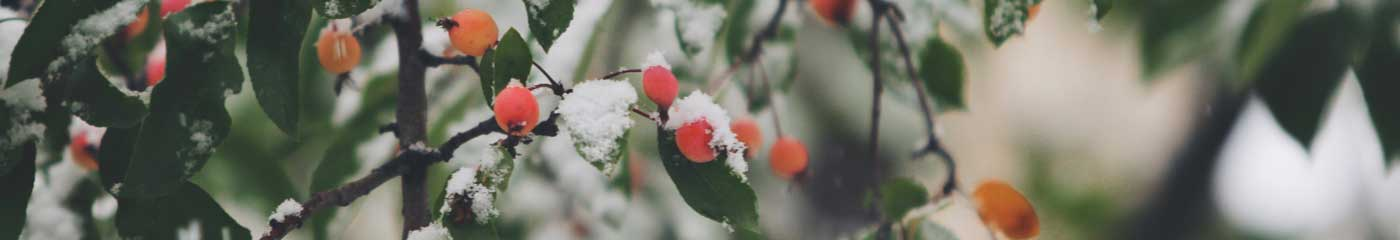 close up tree branches with berries and snow
