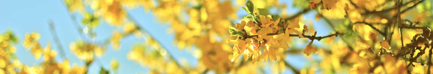 close up of yellow tree flowers